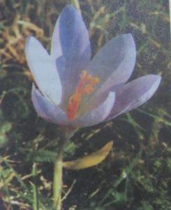 زعفران زاگرس