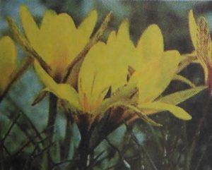 زعفران زرد یا آلمه