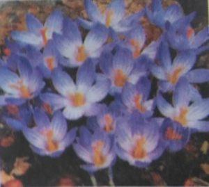زعفران زیبا