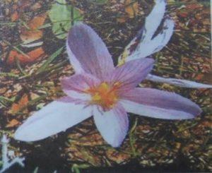 زعفران کرل کوی¬ای