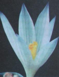 زعفران گیلان