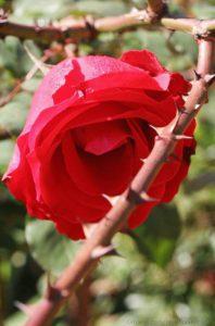گل خاردار