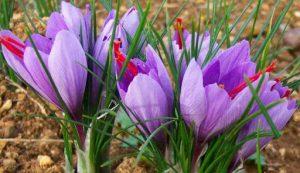 گیاه زعفران